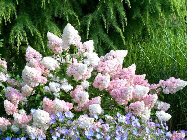 Hydrangea paniculata 'Vanille-Fraise'®