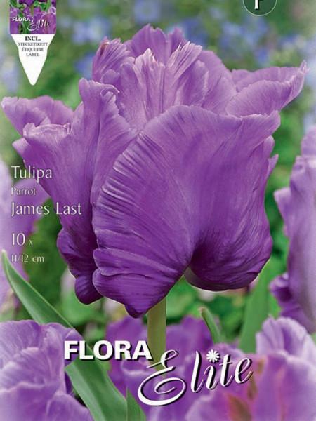Tulpe James Last