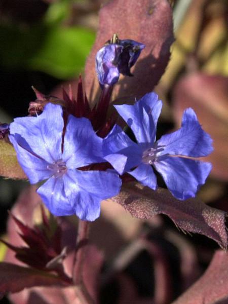 Blatt und Blüte des Schein-Bleiwurz