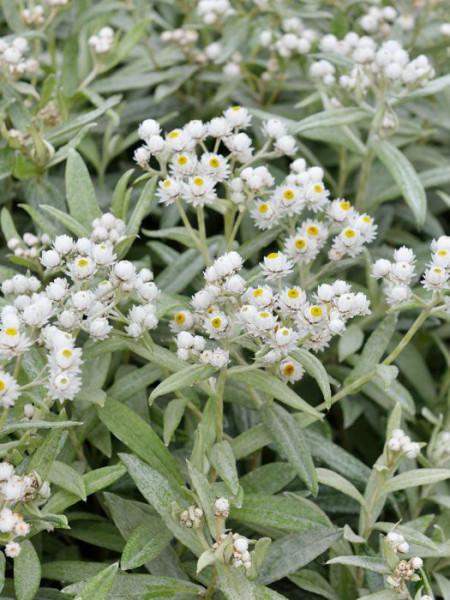 Zierliche Blüten der Silberimmortelle
