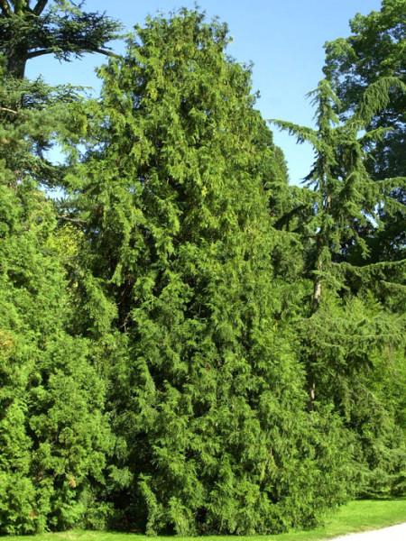 Hibalebensbaum als Solitärbaum im Garten