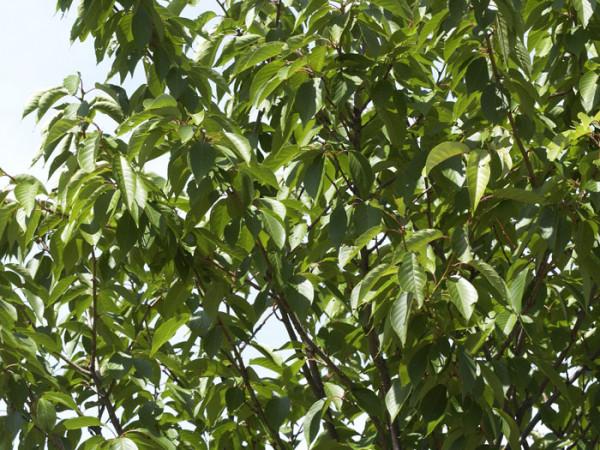 Prunus serrulata 'Kanzan', Japanische Nelkenkirsche - XXL-Produkt