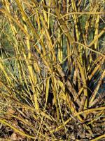 Cornus stolonifera 'Flaviramea', Gelbholz-Hartriegel