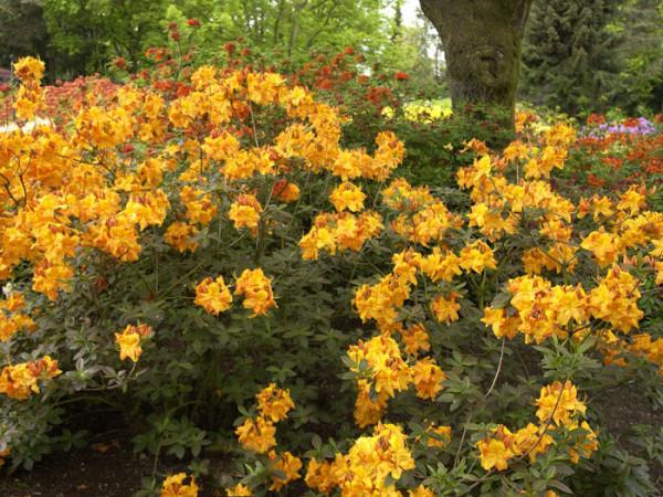 Rhododendron luteum 'Klondyke', sommergrüne japanische Gartenazalee