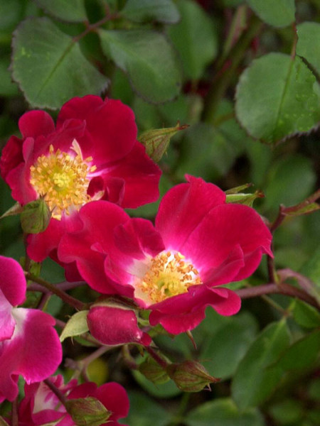 Blüte der Rose Red Meidiland