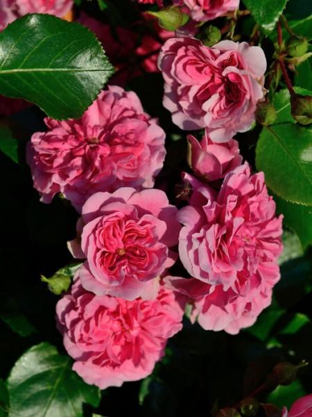 Blühende Rose Pink Swany