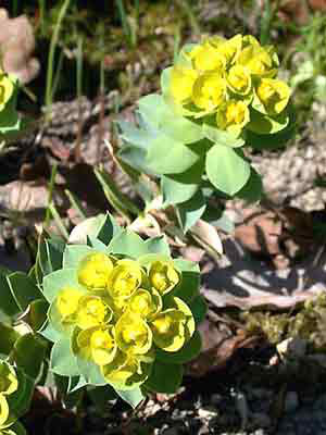 Euphorbia myrsinites, Walzenwolfsmilch