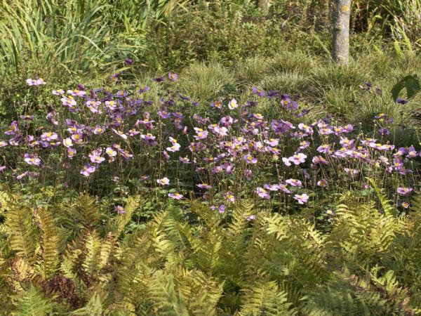 Naturnahe Pflanzung mit der China-Anemone 'Praecox'