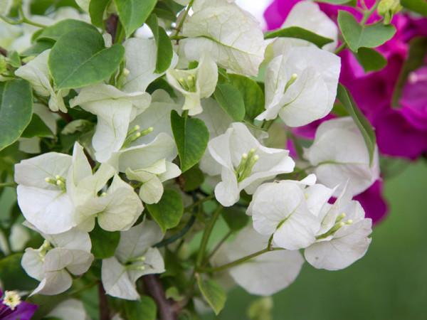 Bougainvillea Hybride 'Weiß', weißblühende Bougainvillea