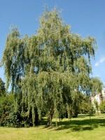 Betula pendula, Sandbirke, Weißbirke