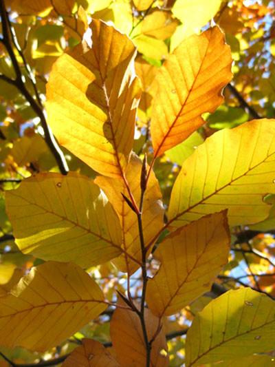 Rotbuche in Herbstfärbung