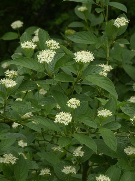 Weiße Blüte des Hartriegels