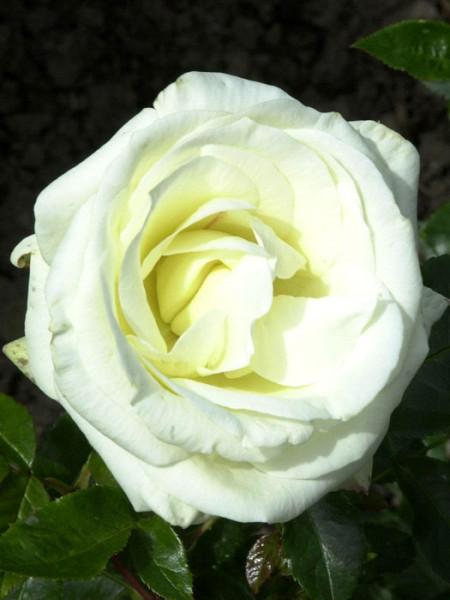 Blüte der Rose La Paloma 85