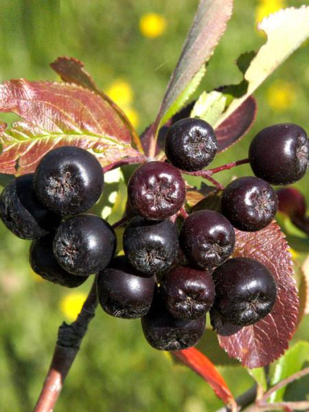 Frucht der Aronia 'Viking'