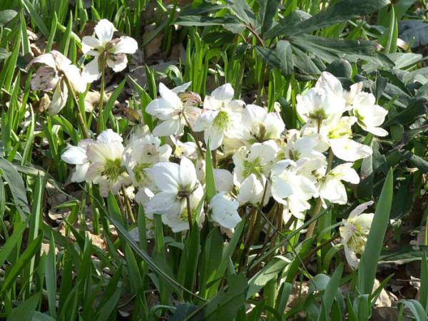 Die Christrose in voller Blüte