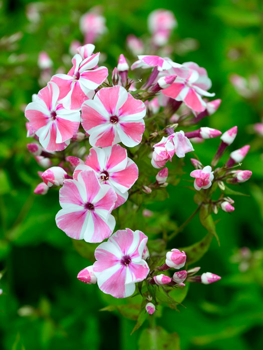 phlox paniculata 39 peppermint twist 39. Black Bedroom Furniture Sets. Home Design Ideas