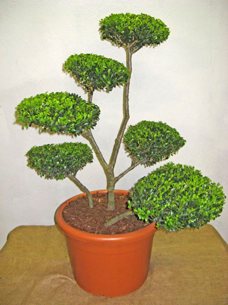 Ilex crenata Green Hedge - Bonsai, XXL-Produkt