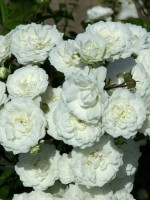 Rose Alba Meidiland ® - Meilland