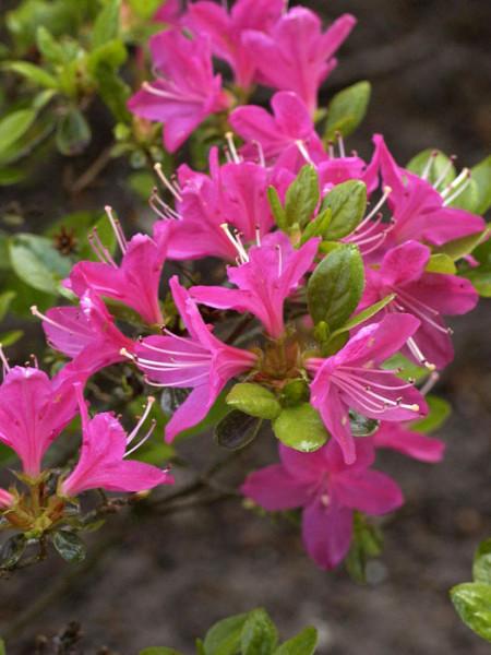 Rhododendron obtusum 'Kermesina', wintergrüne japanische Gartenazalee