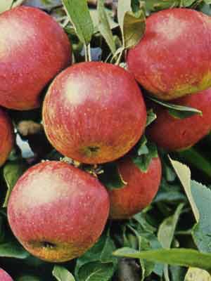 Der Gewürzluiken-Apfel