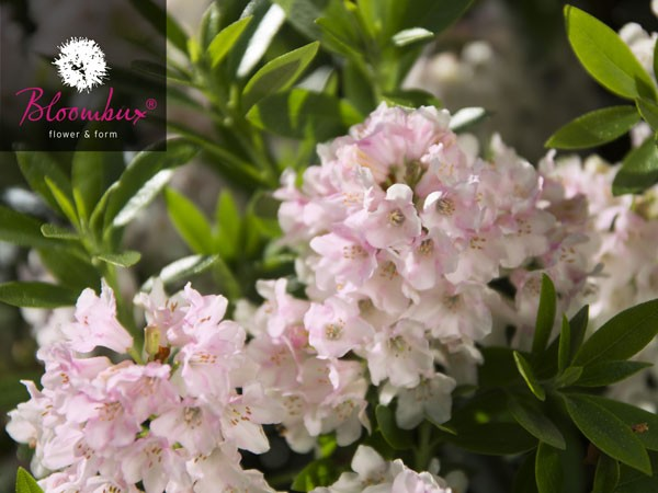 Rhododendron 'Bloombux®'