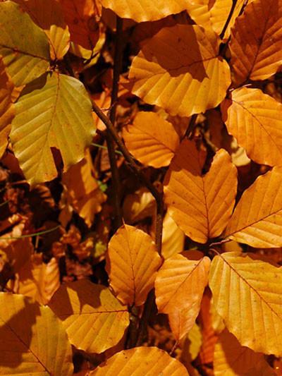 Herbstfärbung Blutbuche