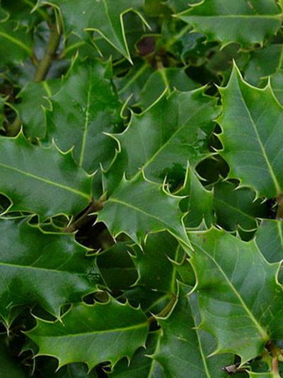 immergrünes Blatt der gemeinen Stechpalme