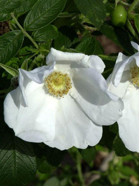 Weisse Kartoffelrose Blüte