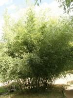 Phyllostachys bissetii, Bisset-Bambus