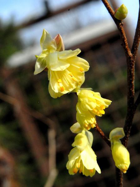 Gelbe Blüte der niedrigen Scheinhasel