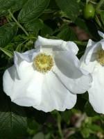Rosa rugosa alba, weisse Kartoffelrose
