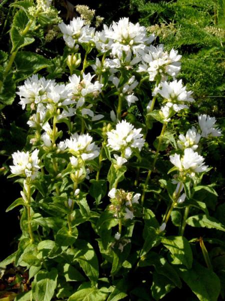 Campanula glomerata 'Alba', Knäuelglockenblume, Gartenglockenblume