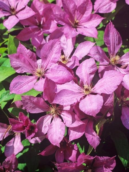 Blütenpracht der Clematis 'Margret Hunt'
