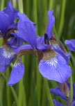 iris-caesars-brother56d97eeb0e985