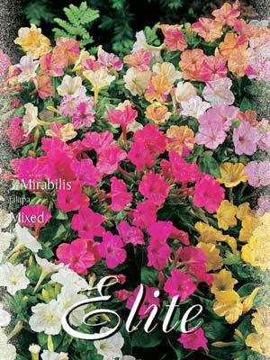 Wunderblume, Mischung, Mirabilis jalapa (Art.Nr. 521820)