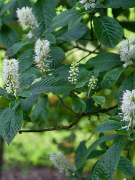 Kleine Blütenstände und sommergrünes Laub