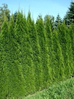 Thuja occidentalis 'Smaragd', Lebensbaum