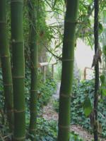 Phyllostachys vivax 'Mc Clure', Großer Elegant-Bambus