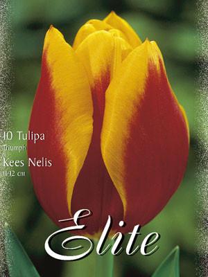 Triumph-Tulpe 'Kees Nelis' (Art.Nr. 595232)