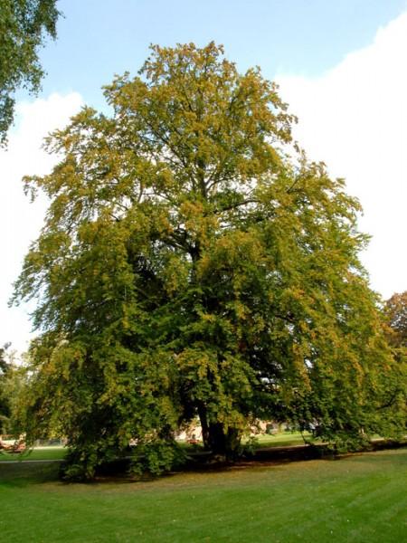 Rotbuchen Baum