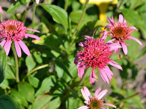 Echinacea purpurea 'Pink Double Delight', Scheinsonnenhut