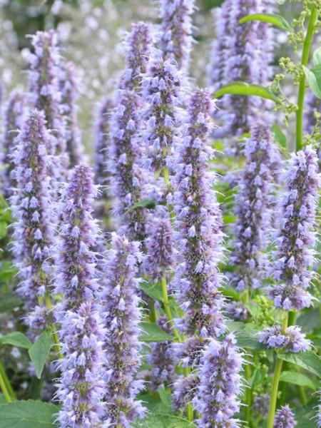 Agastache rugosa 'Blue Fortune' (M), asiatische Duft-Nessel 'Blue Fortune'