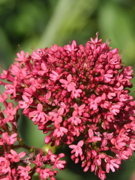 Centranthus ruber 'Coccineus', Spornblume
