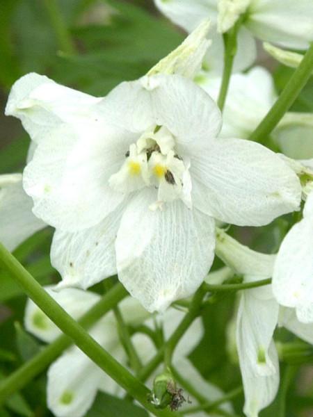 Delphinium belladonna 'Moerheimii', Verzweigter Gartenrittersporn