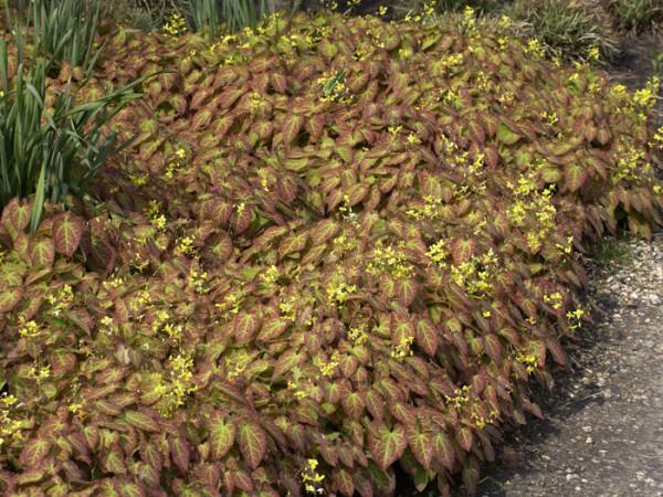 Die Frohnleiten-Elfenblume im Herbst