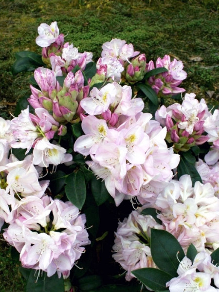 Rhododendron 'Gomer Waterer' INKARHO®