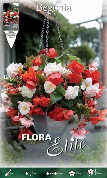 Knollenbegonien, Odorata Mischung, Begonia odorata (Art. Nr. 520910)