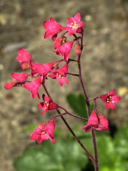Heuchera x brizoides 'Red Spangles', Purpurglöckchen, Purpurblatt