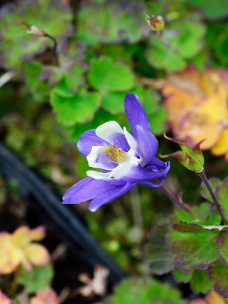 Aquilegia caerulea 'Blue Star', Blaue, nordamerikanische Akelei