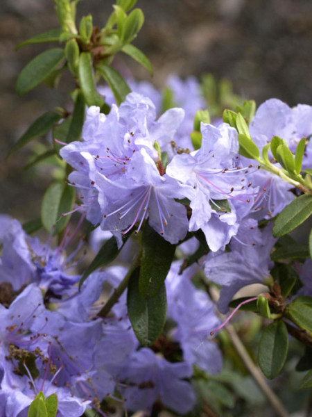 Rhododendron impeditum 'Blue Tit'